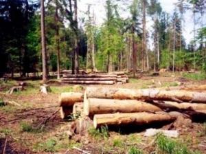 Украинцы незаконно вырубают лес в Лельчицком районе